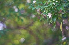 Fleurs blanches sur le fond de tache floue Photographie stock libre de droits