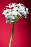 Fleurs blanches sur le rouge Photos libres de droits