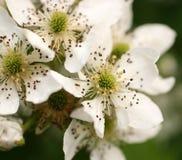Fleurs blanches sur un buisson Image libre de droits