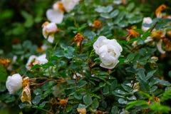 Fleurs blanches sur un buisson Image stock