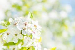 Fleurs blanches sur un cerisier de fleur Photographie stock