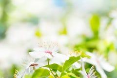 Fleurs blanches sur un cerisier de fleur Image libre de droits