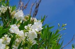 Fleurs blanches sur un fond de ciel Photographie stock libre de droits