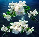 Fleurs blanches sur une branche contre le bleu Images libres de droits