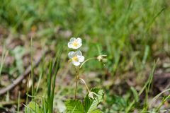 Fleurs blanches Fleurs blanches sur une clairière Une clairière d'été avec des fleurs Photos stock