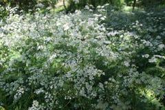 Fleurs blanches sur une clairière dans la forêt Photo stock
