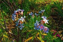 Fleurs blanches sur une fin de buisson  images stock