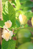 Fleurs blanches, Thaïlande Image stock