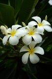 Fleurs blanches tropicales de frangipani Photo libre de droits