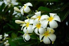 Fleurs blanches tropicales de frangipani Photographie stock
