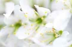 Fleurs blanches troubles Photographie stock libre de droits