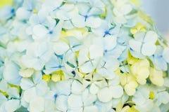 Fleurs bleu-clair de Hortensia Photo stock