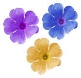 Fleurs bleu-jaune-pourpres réglées Violettes de jardin Fond d'isolement par blanc avec le chemin de coupure closeup Aucune ombres Photos stock