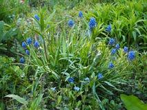 Fleurs bleues à l'arrière-plan vert d'été de jardin photo libre de droits
