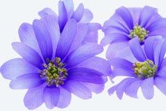 Fleurs bleues photographie stock libre de droits