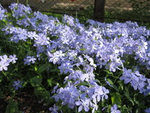 Fleurs bleues Image libre de droits