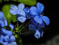 Fleurs bleues Images libres de droits