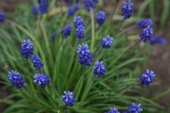 Fleurs bleues photos stock