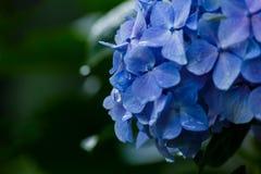 Fleurs bleues avec des gouttes de l'eau Photos libres de droits
