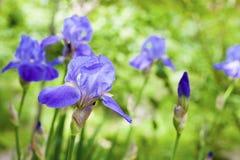 Fleurs bleues d'iris sur le fond vert Photos stock