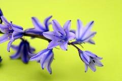 Fleurs bleues d'isolement photos stock