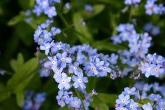 Fleurs bleues d'usine de myosotis Photographie stock