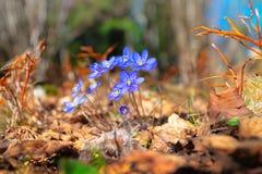 Fleurs bleues dans la forêt Image libre de droits