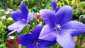 Fleurs bleues dans le jardin Photo libre de droits