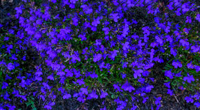Fleurs bleues de couverture végétale de lobélie en début de l'été Image stock