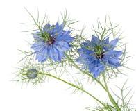Fleurs bleues de damascena de Nigella d'Amour-dans-un-brume D'isolement Images libres de droits