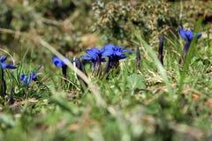 Fleurs bleues de gentiane Photographie stock libre de droits