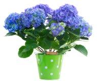 Fleurs bleues de hortensia Images libres de droits