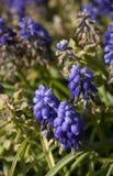 Fleurs bleues de jacinthe Photo libre de droits
