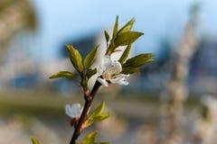Fleurs bleues de muscari Photographie stock libre de droits