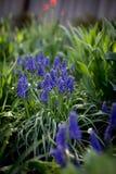 Fleurs bleues de muscari Photo libre de droits