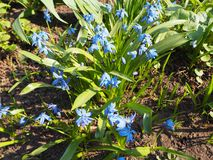 Fleurs bleues de myosotis de myosotis dans le jardin photo stock
