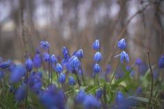 Fleurs bleues de perce-neige Image stock