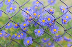 Fleurs bleues de plan rapproché sur le fond de la vieille barrière rouillée de grillage images stock