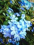 Fleurs bleues de plumbago Photographie stock libre de droits