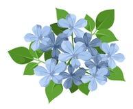 Fleurs bleues de plumbago. illustration libre de droits