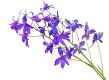 Fleurs bleues de pré d'isolement Photo libre de droits