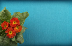 Fleurs bleues de rouge de fond Carte postale avec le rouge de primevère photographie stock
