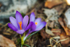 Fleurs bleues de safran Photos libres de droits