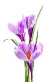 Fleurs bleues de safran photo libre de droits