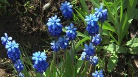 Fleurs bleues de source banque de vidéos