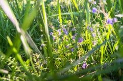 Fleurs bleues de véronique de Germander ou de chamaedrys de Veronica sur la clairière ensoleillée de forêt photographie stock
