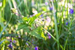 Fleurs bleues de véronique de Germander ou de chamaedrys de Veronica sur la clairière ensoleillée de forêt photo stock