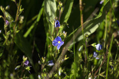 Fleurs bleues de véronique ou de Veronica photo libre de droits