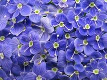 Fleurs bleues de Veronica Photographie stock libre de droits