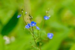 Fleurs bleues de Veronica avec deux stamens et plans rapprochés de pilon images libres de droits